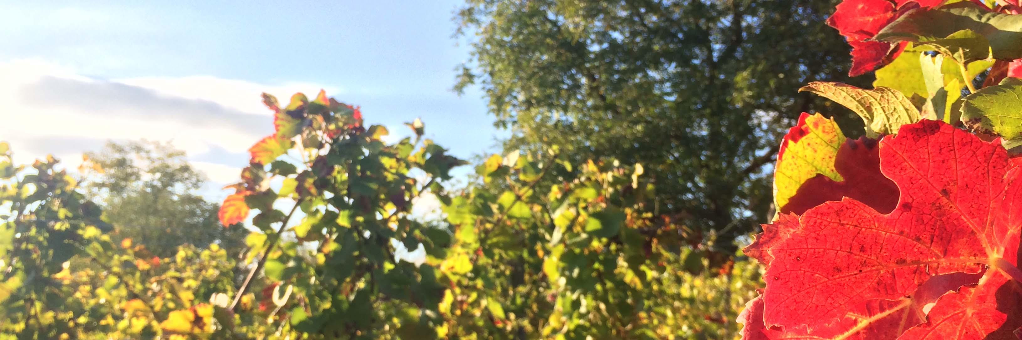 Herbstlaub in den Weinbergen von Bad Schönborn
