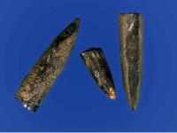 Fossilie Tintenfischgehäuse aus der Posidonienschiefergrube