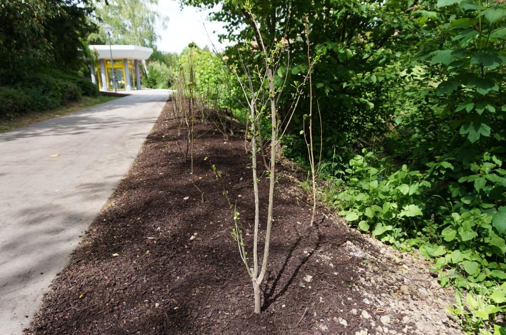 Neubepflanzung des Kurparks mit heimischen Sträuchern