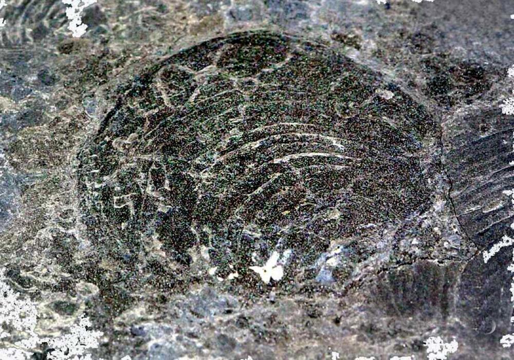 Fossile Abbildung einer Muschel im Posidonienschiefer